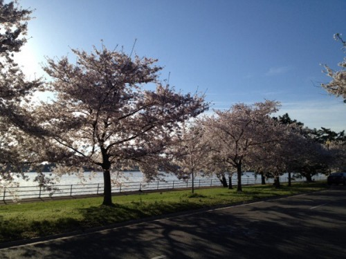 Hains Point Cherry Blossoms